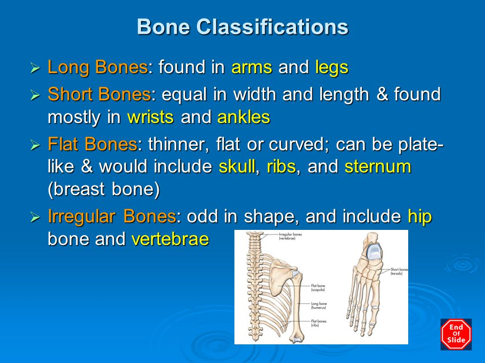 Bone Classifications Long Bones: found in arms and legs