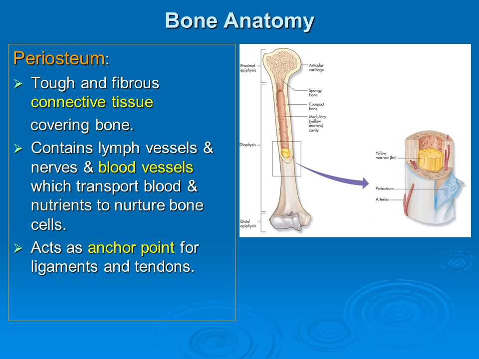 Bone Anatomy Periosteum: Tough and fibrous connective tissue