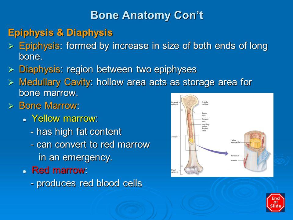 Bone Anatomy Con't Epiphysis & Diaphysis