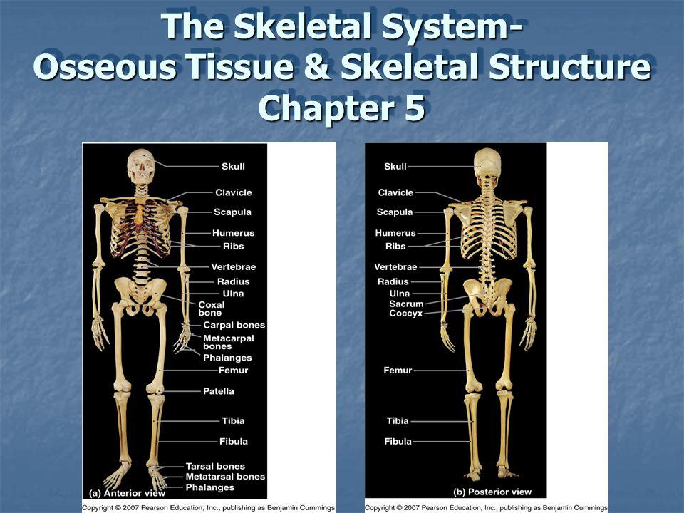 The Skeletal System- Osseous Tissue & Skeletal Structure Chapter 5
