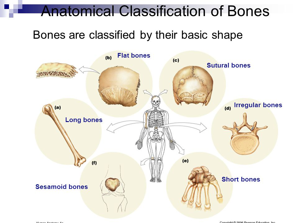 Anatomical Classification of Bones