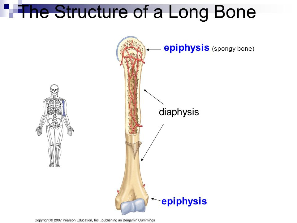 The Structure of a Long Bone