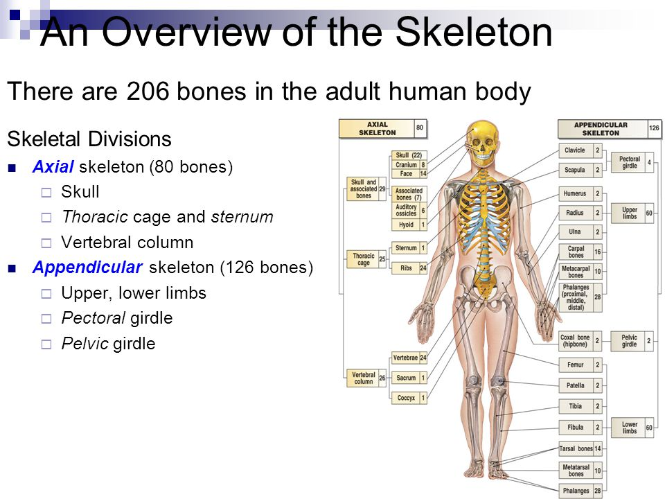 An Overview of the Skeleton