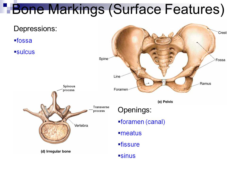 Bone Markings (Surface Features)