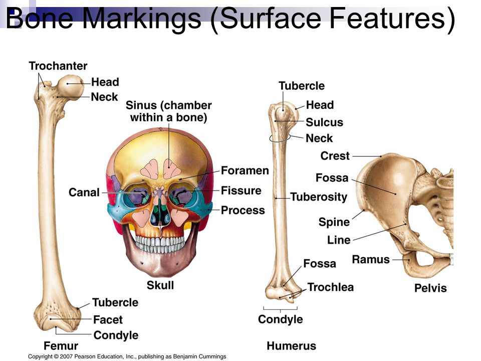 the skeletal system osseous tissue amp skeletal structure