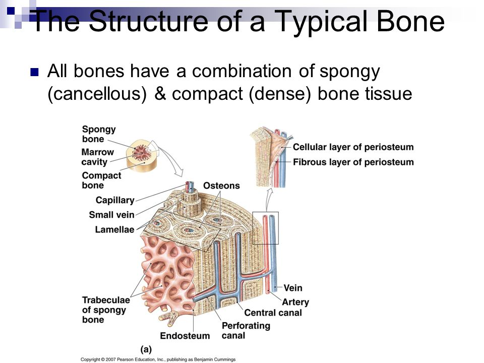 The Structure of a Typical Bone