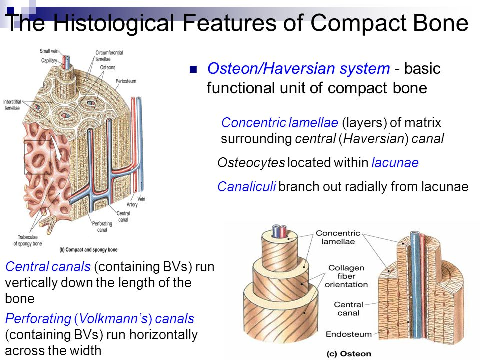 The Histological Features of Compact Bone