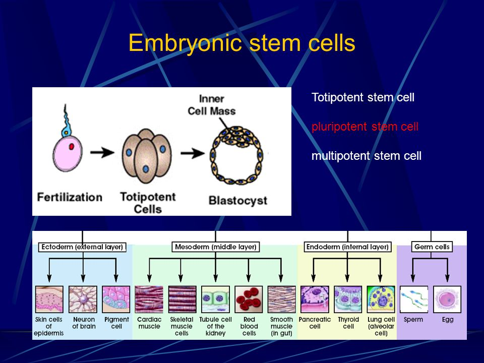 Embryonic stem cells Totipotent stem cell pluripotent stem cell