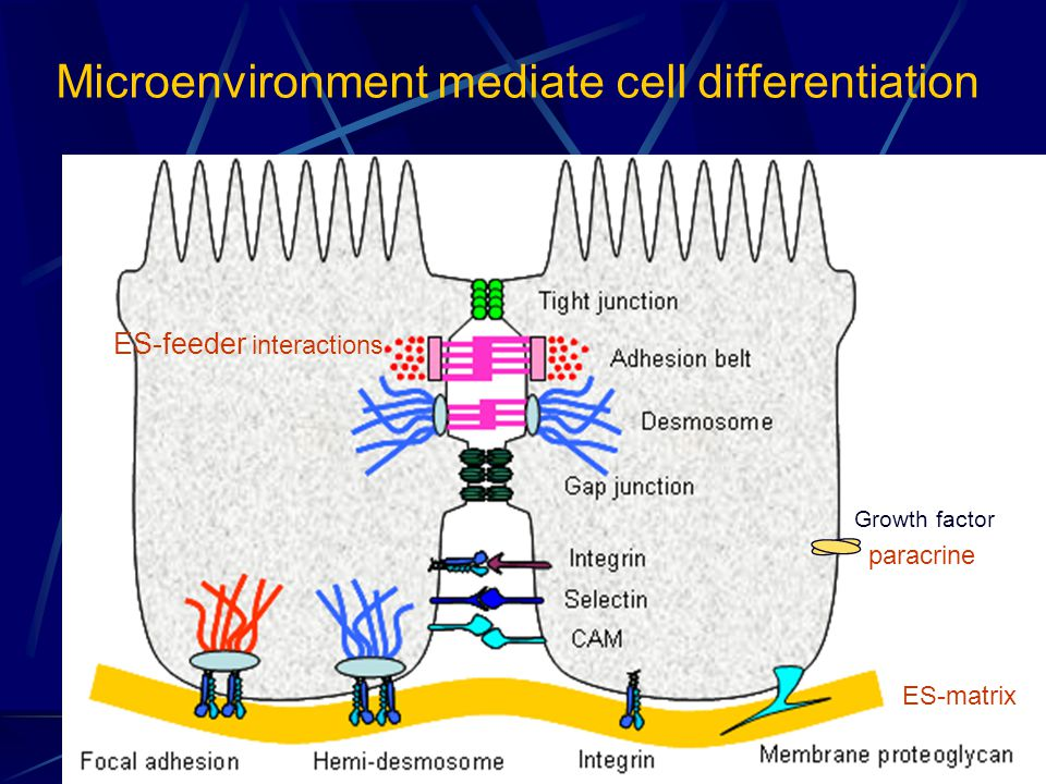 Microenvironment mediate cell differentiation