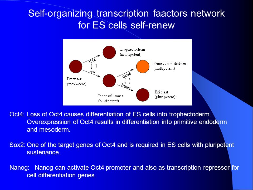 Self-organizing transcription faactors network for ES cells self-renew
