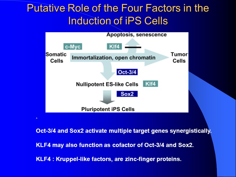 Putative Role of the Four Factors in the Induction of iPS Cells