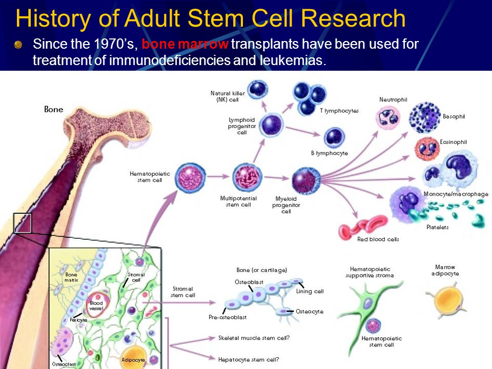 History of Adult Stem Cell Research