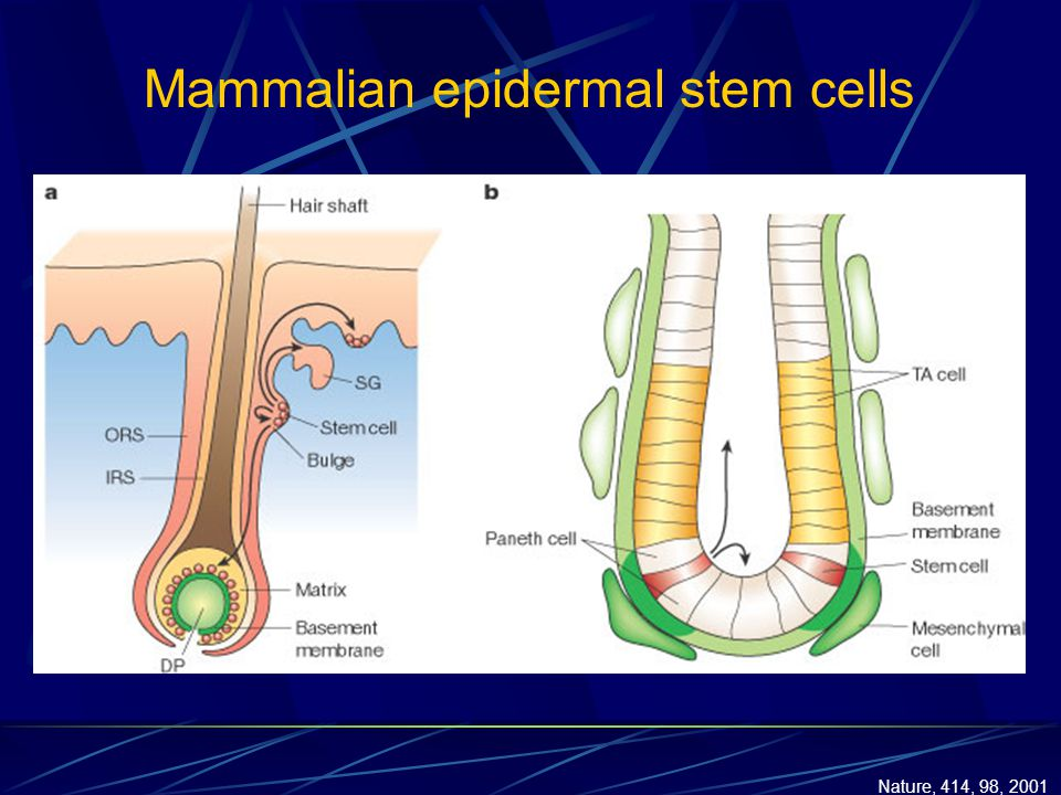 Mammalian epidermal stem cells