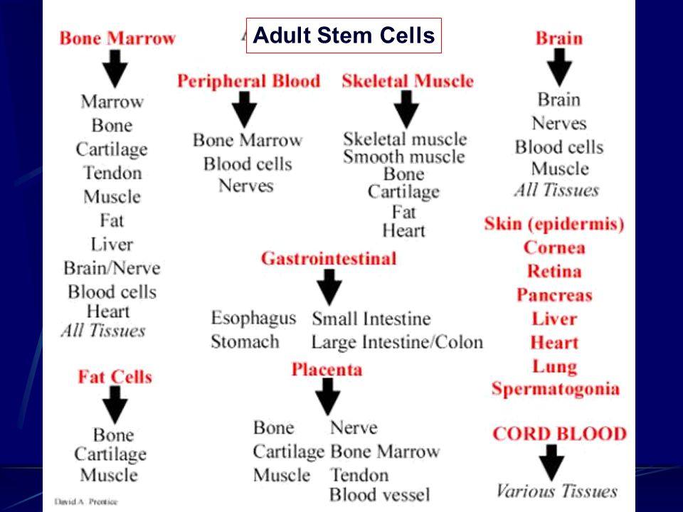 Adult Stem Cells
