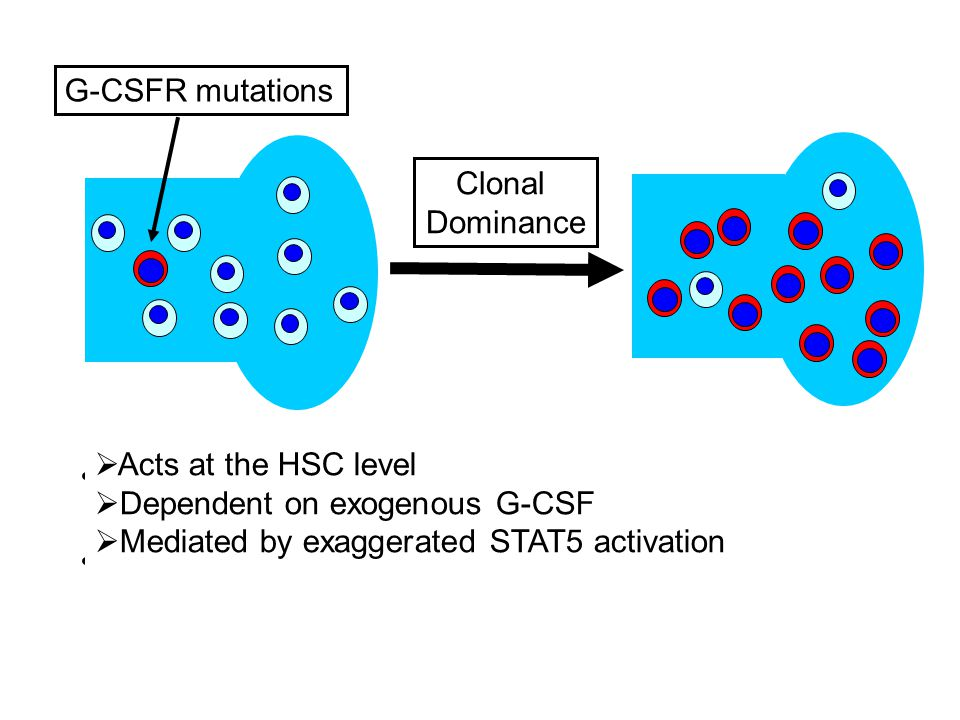 G-CSFR mutations Clonal. Dominance. Acts at the HSC level. Dependent on exogenous G-CSF. Mediated by exaggerated STAT5 activation.