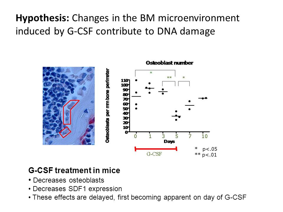 Hypothesis: Changes in the BM microenvironment induced by G-CSF contribute to DNA damage