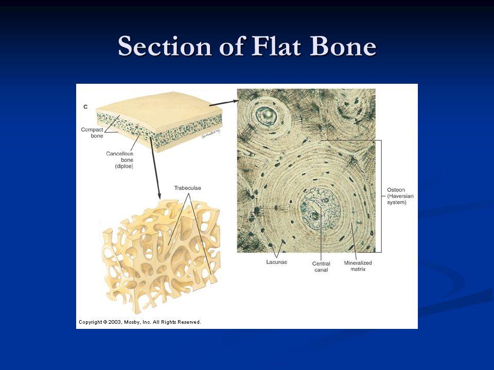 Section of Flat Bone