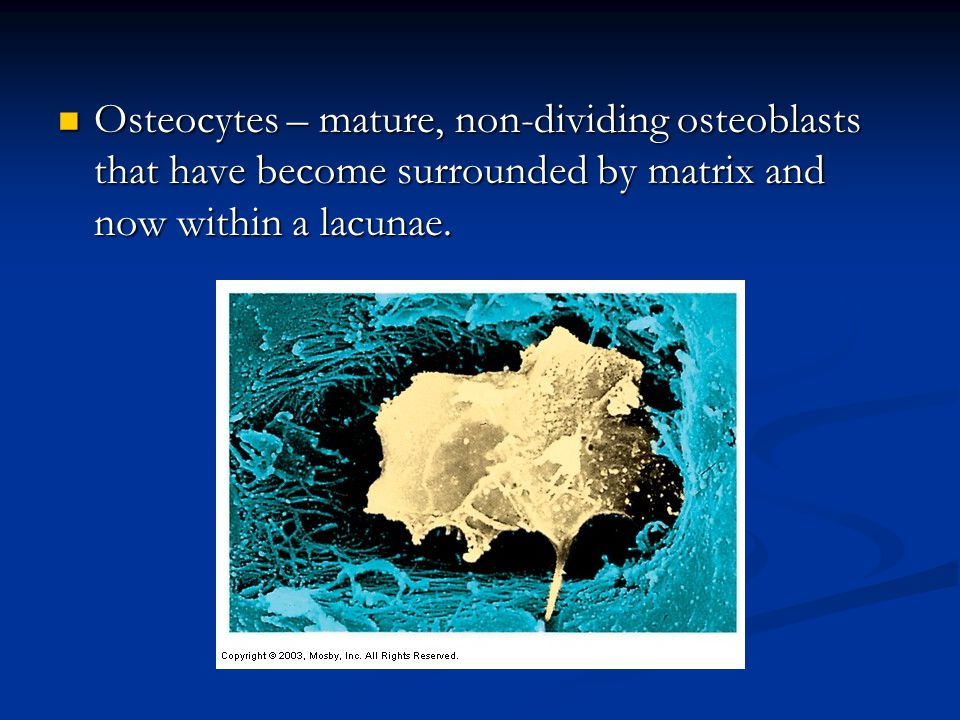 Osteocytes – mature, non-dividing osteoblasts that have become surrounded by matrix and now within a lacunae.