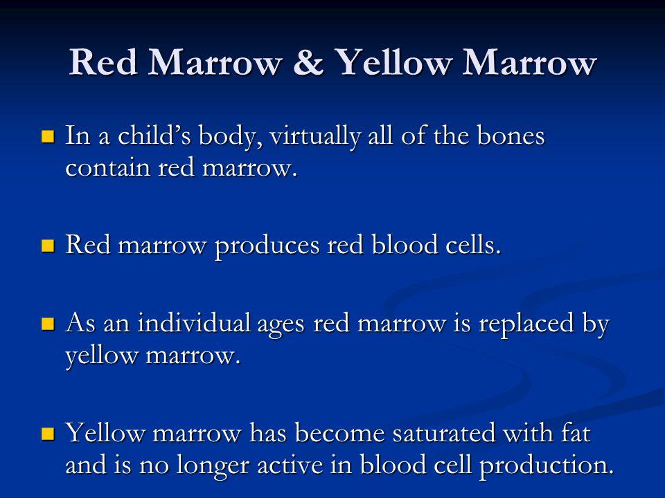 Red Marrow & Yellow Marrow