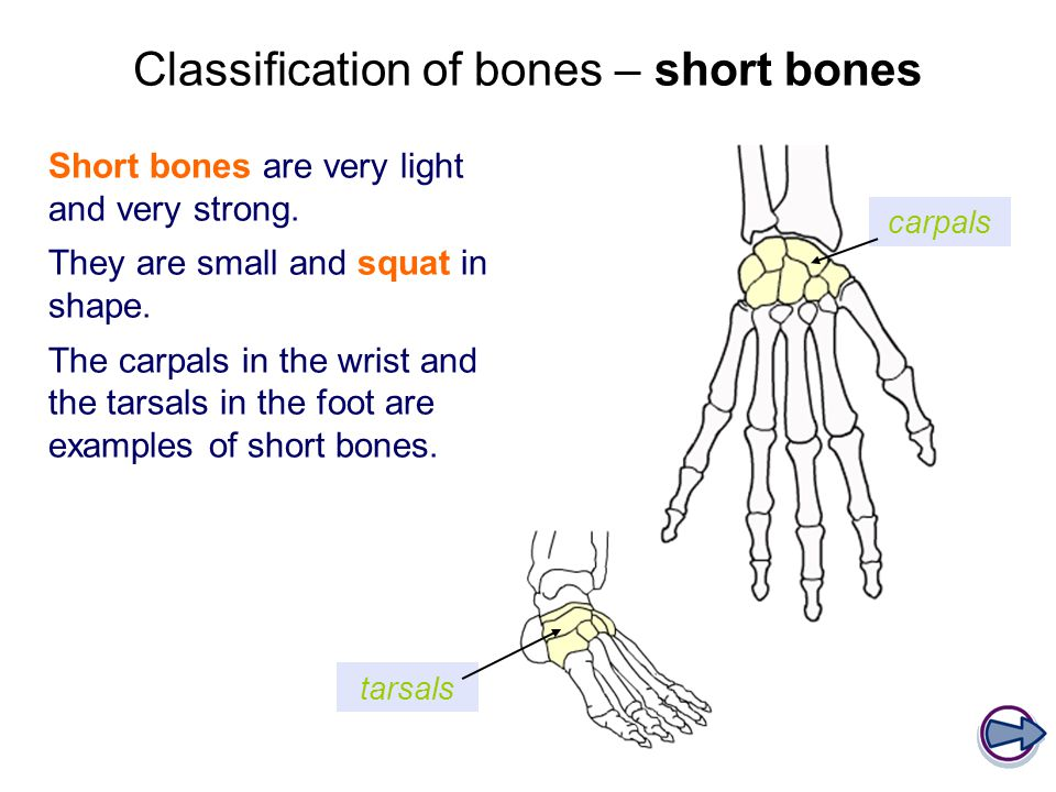 Classification of bones – short bones