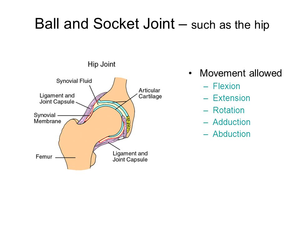 Ball and Socket Joint – such as the hip