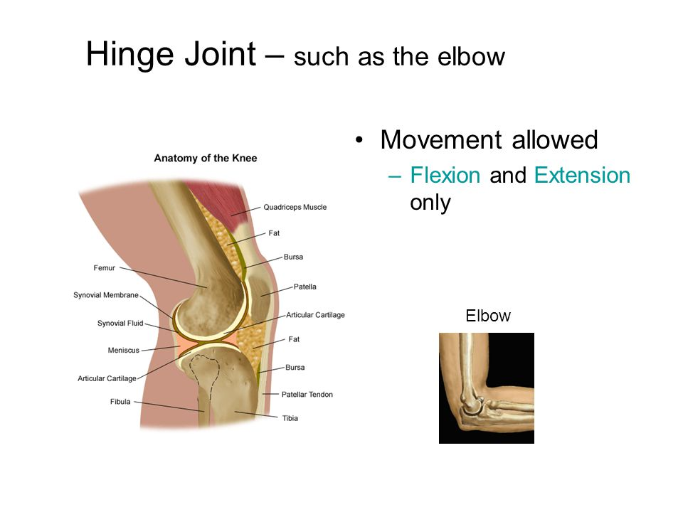 Hinge Joint – such as the elbow