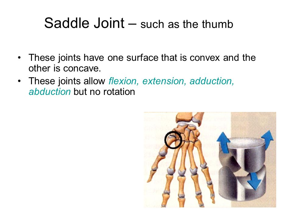 Saddle Joint – such as the thumb