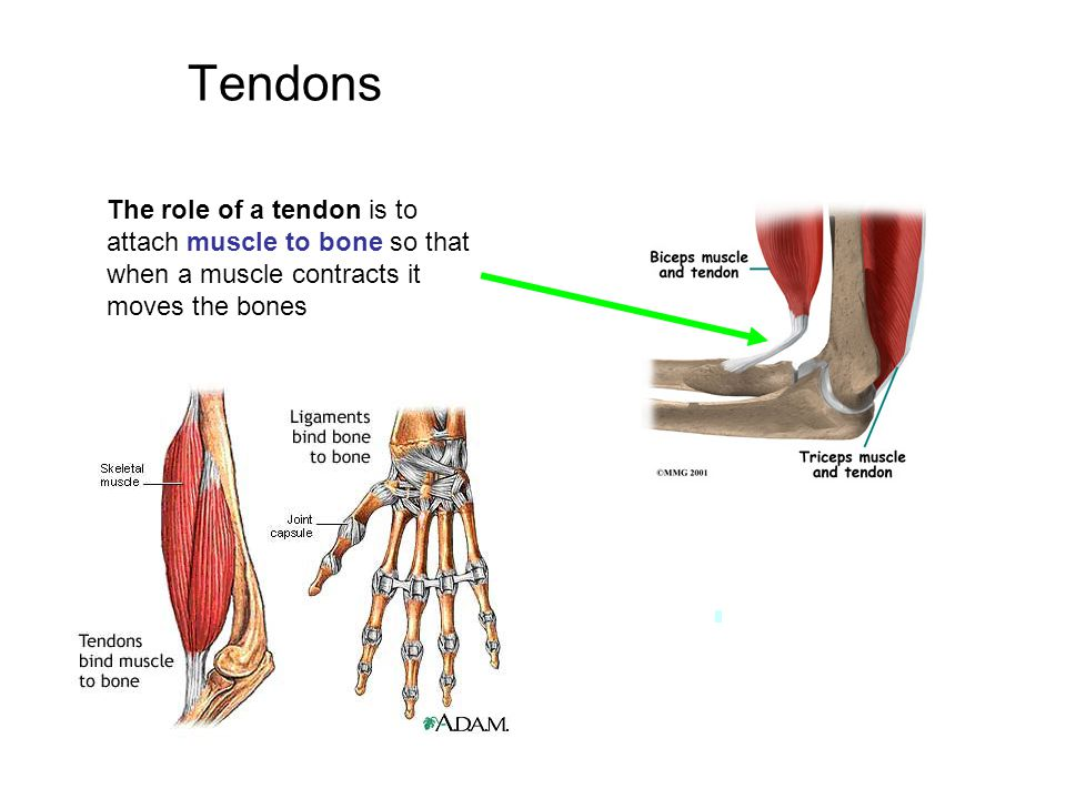 Tendons The role of a tendon is to attach muscle to bone so that when a muscle contracts it moves the bones.