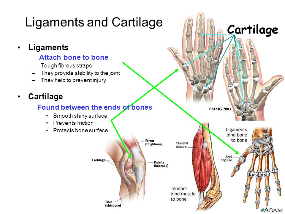 Ligaments and Cartilage