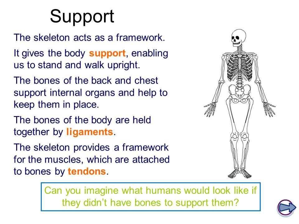 Support The skeleton acts as a framework.