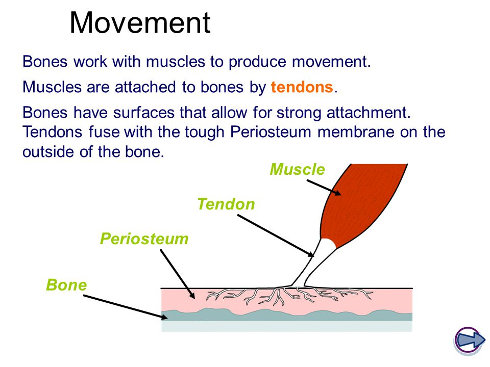 Movement Bones work with muscles to produce movement.