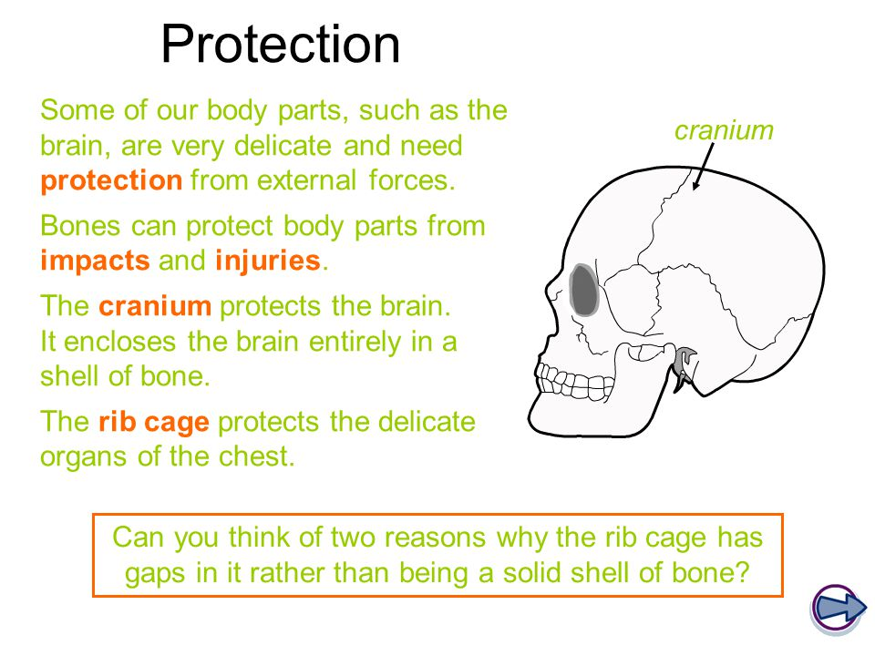Protection Some of our body parts, such as the brain, are very delicate and need protection from external forces.