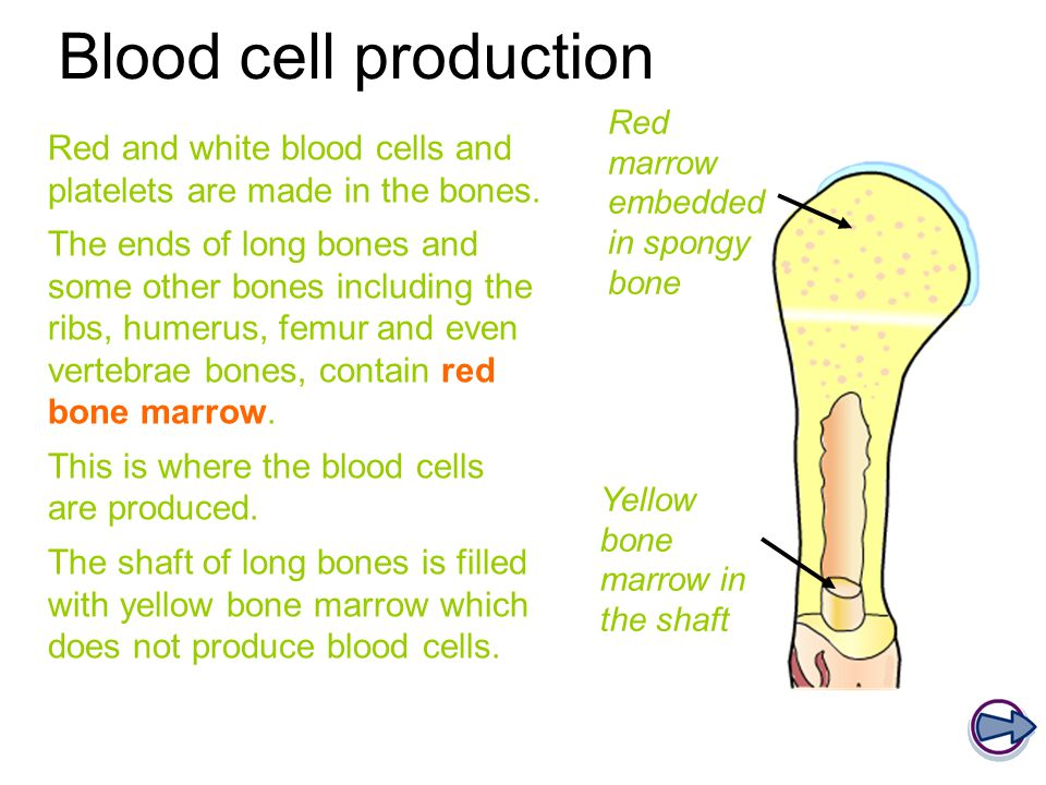 Blood cell production Red marrow embedded in spongy bone. Red and white blood cells and platelets are made in the bones.