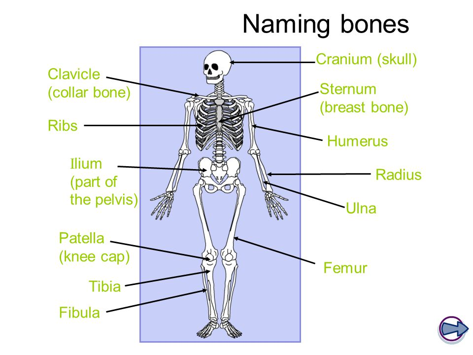 Naming bones Cranium (skull) Clavicle (collar bone)