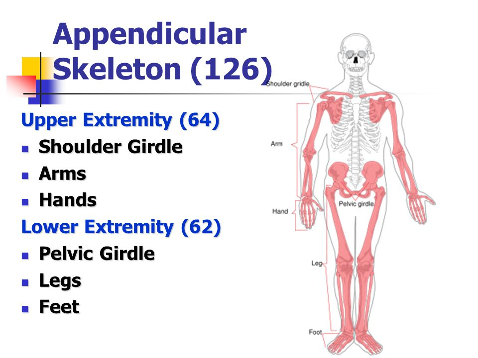Appendicular Skeleton (126)