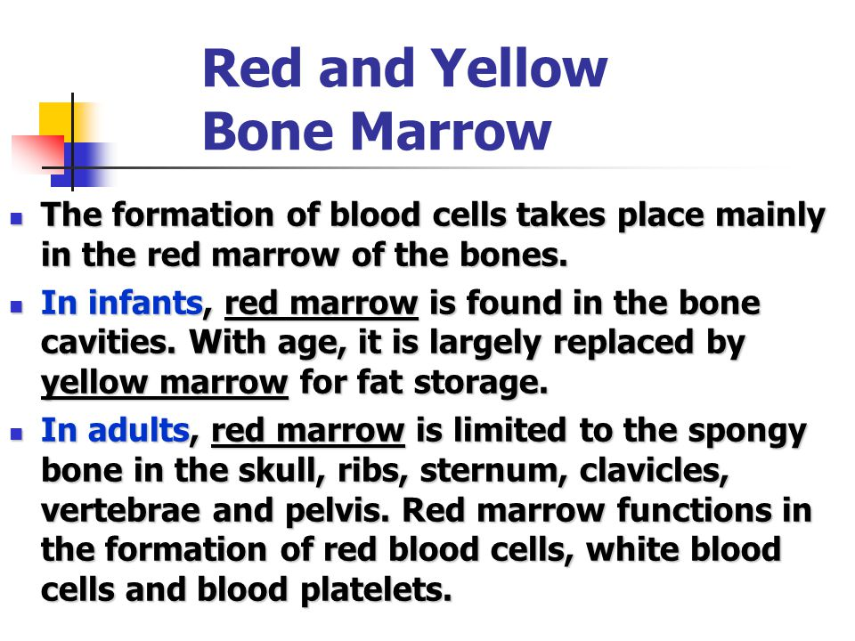 Red and Yellow Bone Marrow