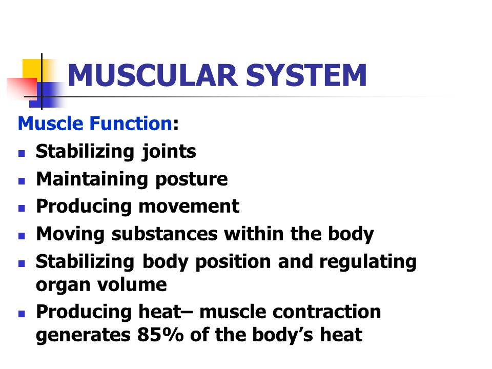 MUSCULAR SYSTEM Muscle Function: Stabilizing joints