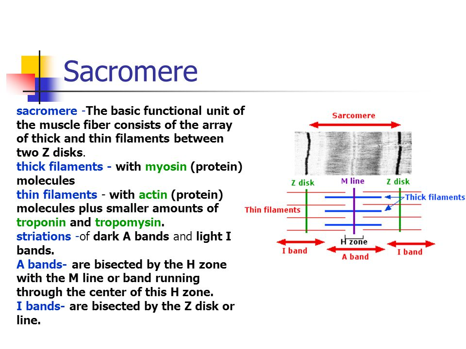 Sacromere sacromere -The basic functional unit of the muscle fiber consists of the array of thick and thin filaments between two Z disks.