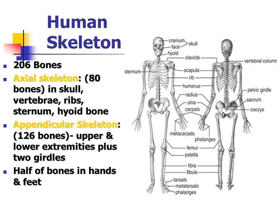 Human Skeleton 206 Bones. Axial skeleton: (80 bones) in skull, vertebrae, ribs, sternum, hyoid bone.