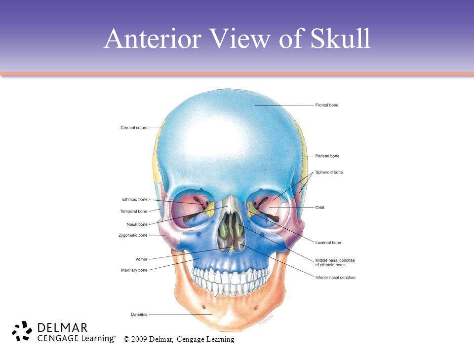 Anterior View of Skull