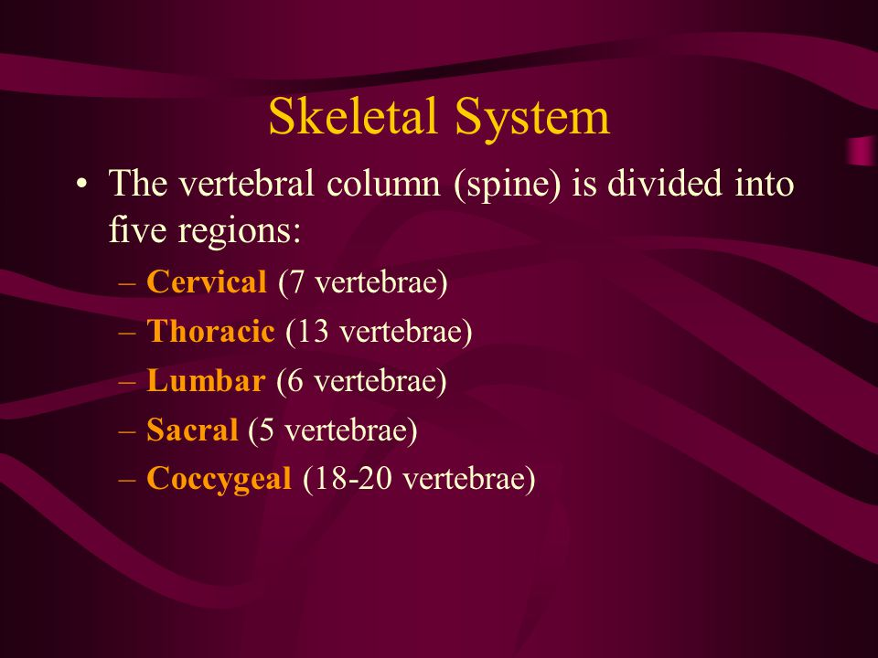 Skeletal System The vertebral column (spine) is divided into five regions: Cervical (7 vertebrae) Thoracic (13 vertebrae)