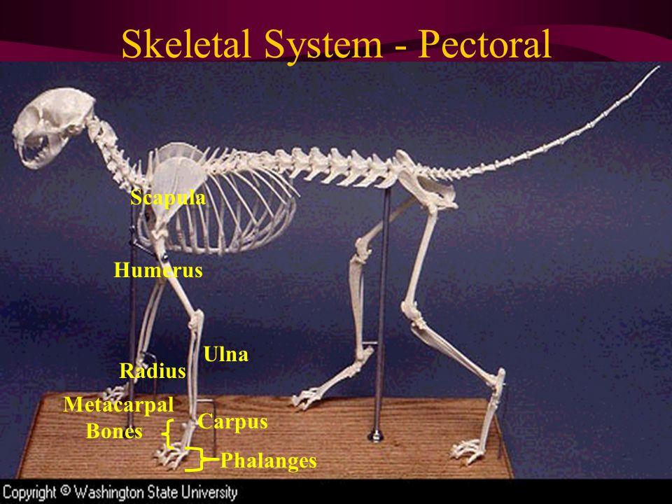 Skeletal System - Pectoral