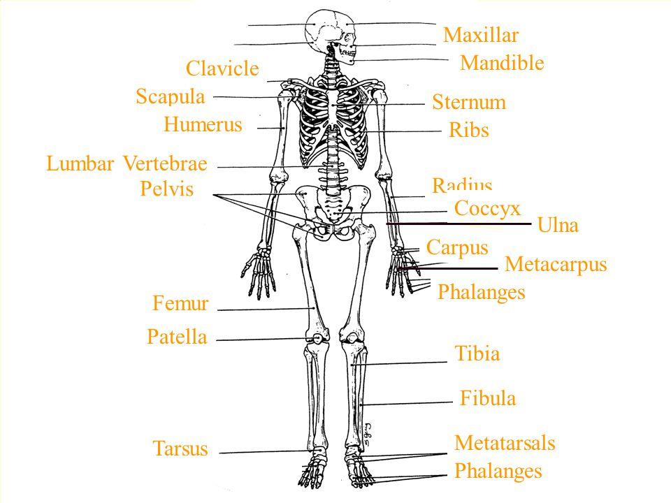 Maxillar Mandible. Clavicle. Scapula. Sternum. Humerus. Ribs. Lumbar Vertebrae. Pelvis. Radius.