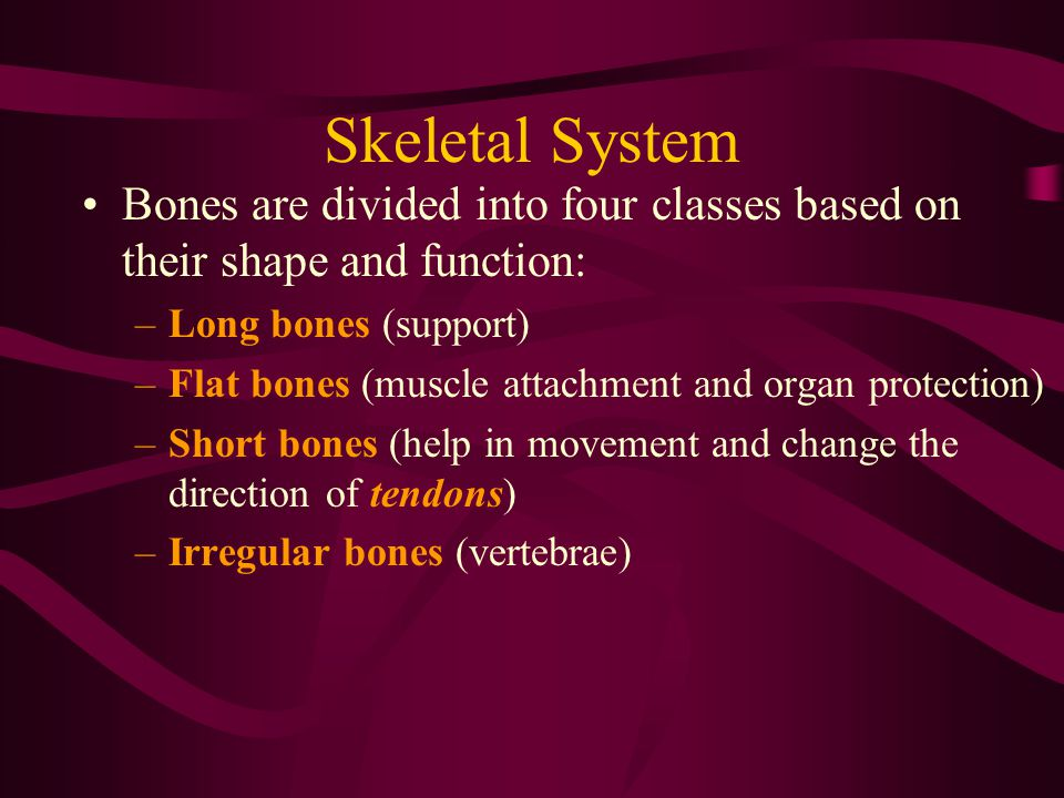 Skeletal System Bones are divided into four classes based on their shape and function: Long bones (support)