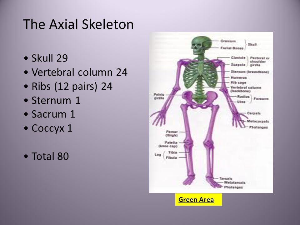 The Axial Skeleton • Skull 29 • Vertebral column 24