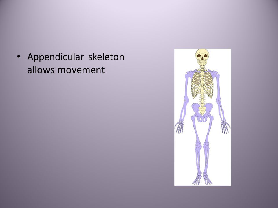 Appendicular skeleton allows movement