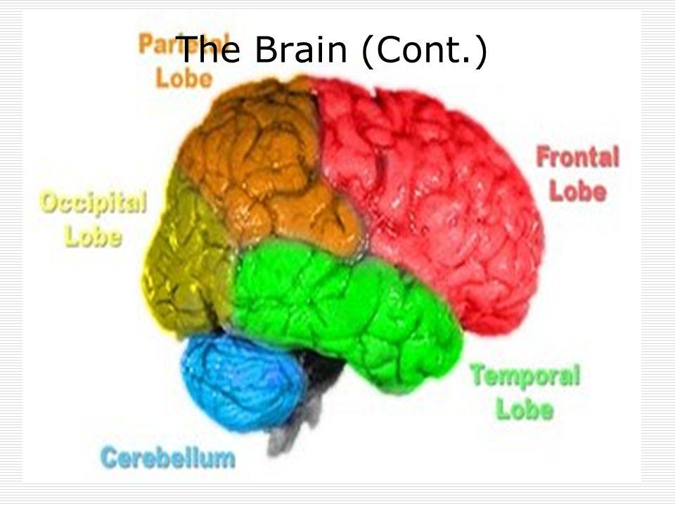 The Brain (Cont.)