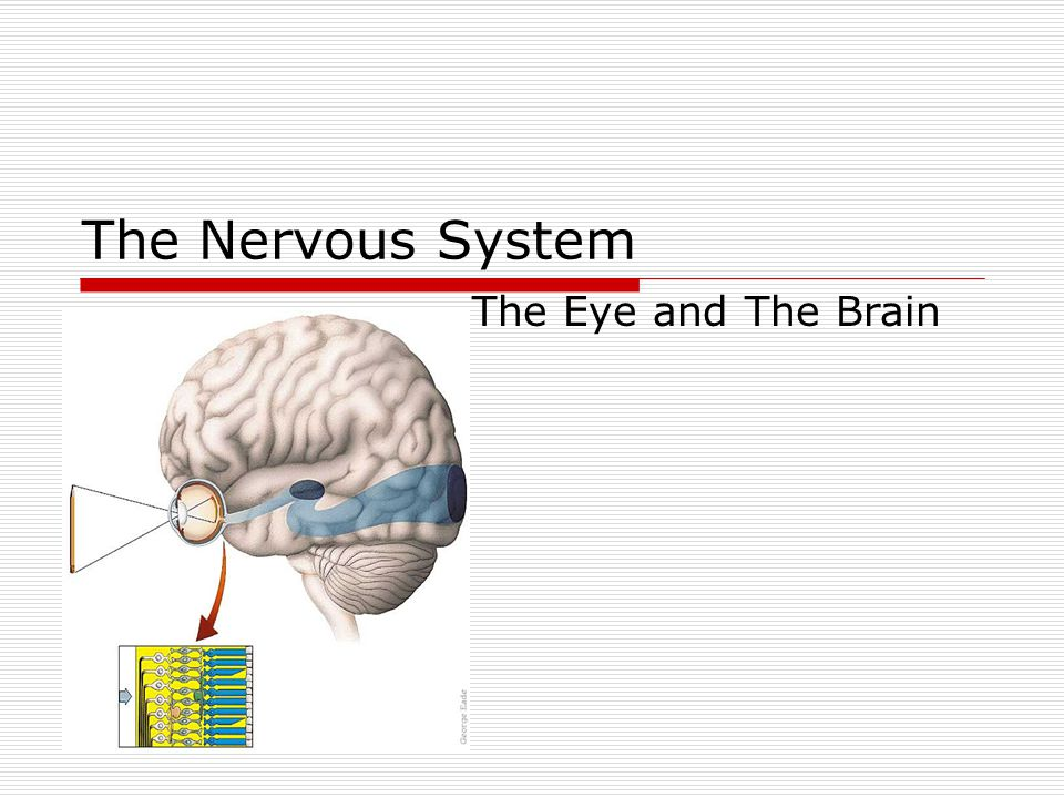 The Nervous System The Eye and The Brain