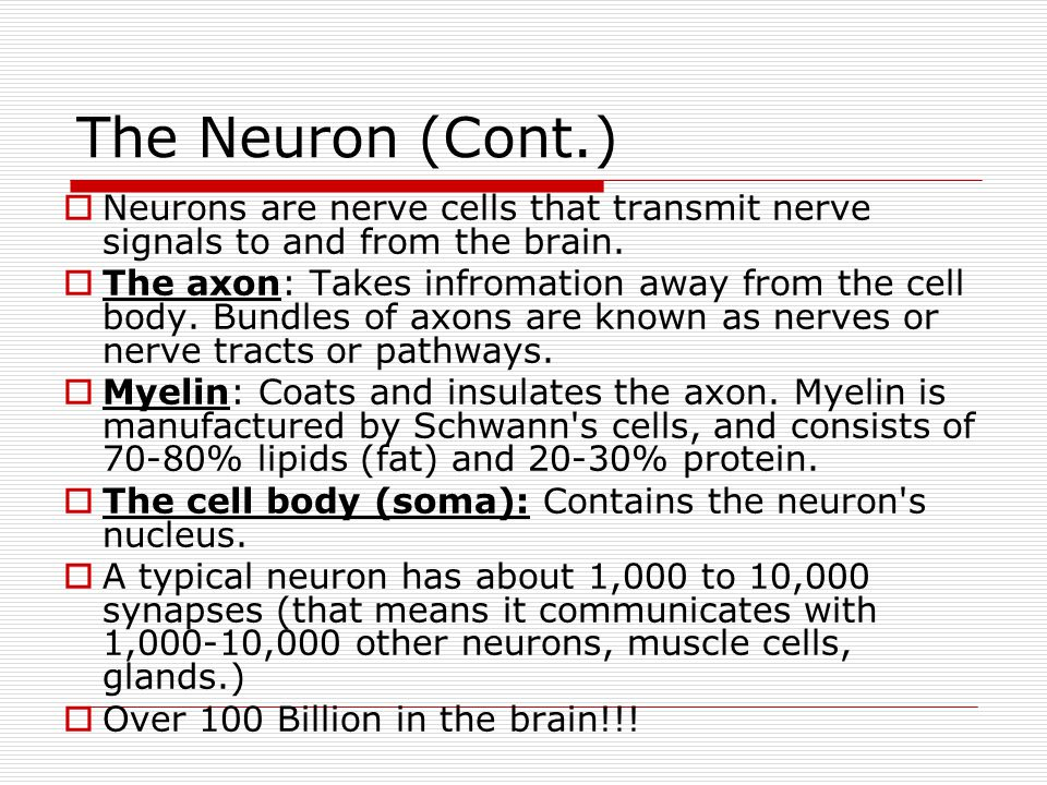 The Neuron (Cont.) Neurons are nerve cells that transmit nerve signals to and from the brain.