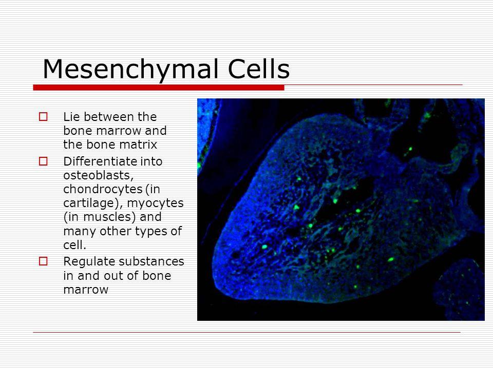 Mesenchymal Cells Lie between the bone marrow and the bone matrix